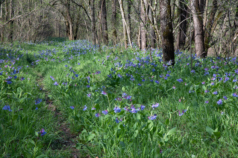 Blue Bells on Catawba Creek 2019