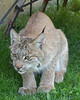 Lynx looking