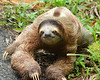 Sloth looking at me