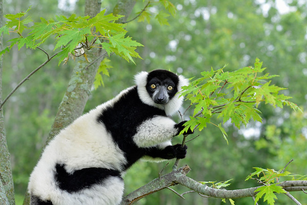 Lemur in Tree