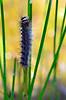 Catterpiller climbing grass