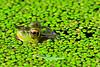 Frog profle
