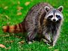 Raccoon approaching