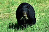 Black Bear with mouth full