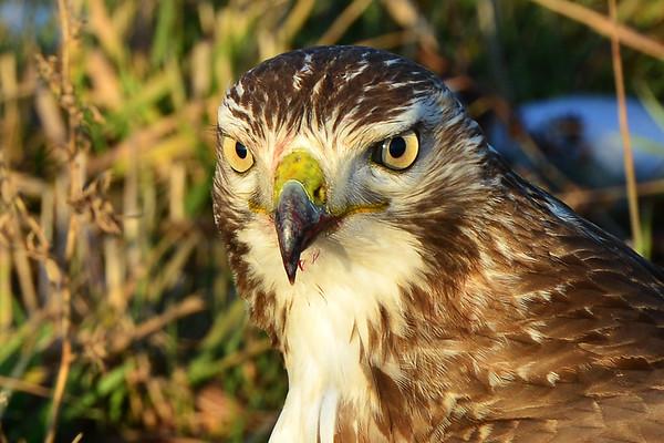 Big Eyes on Hawk