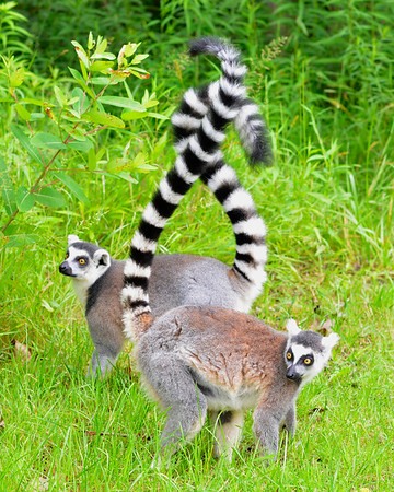 Tangles ringtails