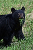 Black Bear Posing with grass