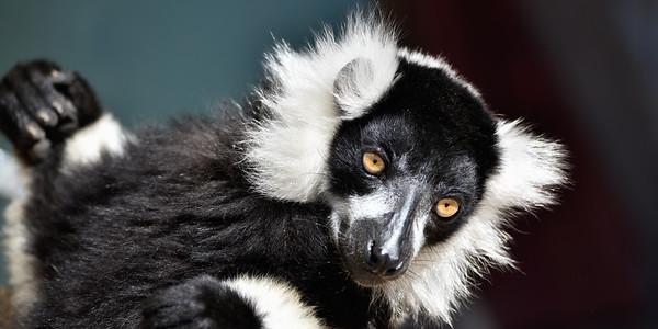 Lazing Lemur