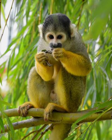 Monkey eating in tree