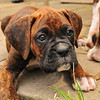 Little Boxer Dog
