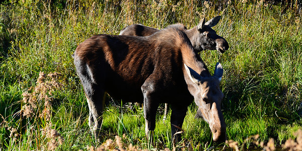 Momma and Baby Moose - Copy