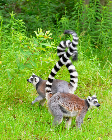 Two Ringtails