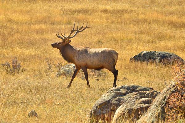 Candian Elk