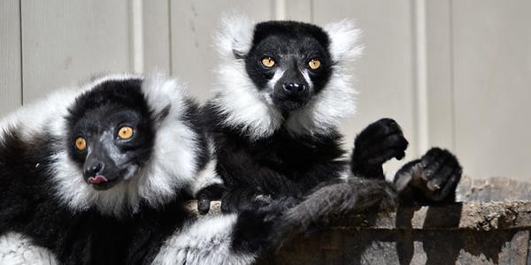 Two lemure in bucket