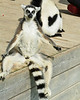 Lounging Lemur