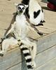 Lounging Lemur