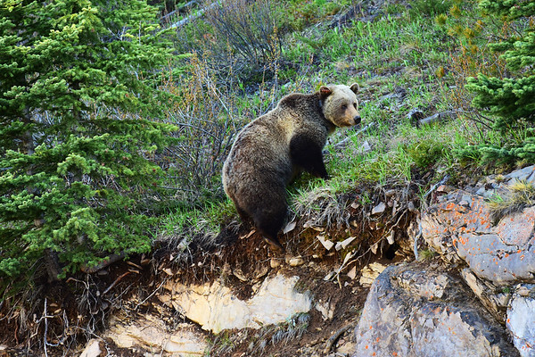 Grizzly climbing rock wall