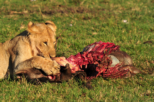 Dinner for the lion - Copy