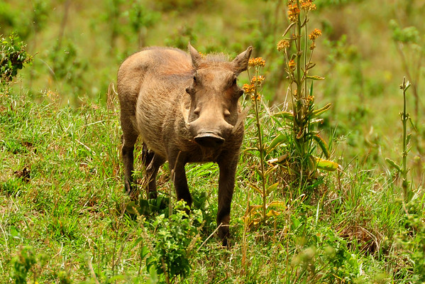 Warthog in Masai