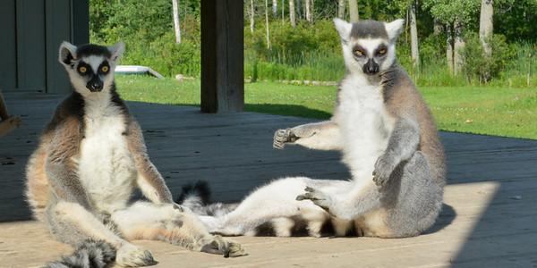 Sunwosipping Lemurs