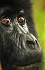 Eyes of a gorilla - Copy