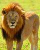 Male Lion_