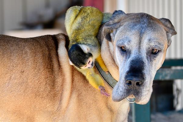 Dog Back riding with monkey