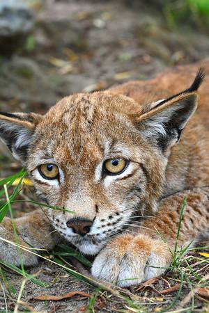 Lynx laying on ground