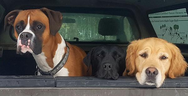 Three Dogs in truck