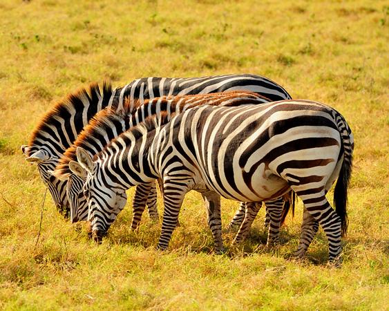 Zebras eating - Copy