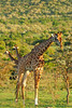 Giraffe and two behind