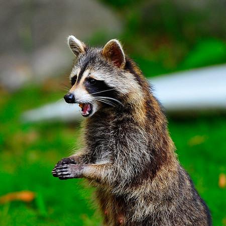 Racoon begging