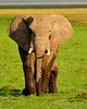 Approachin Elephant