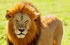 Lion in Masai