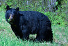 Bear eating Grass