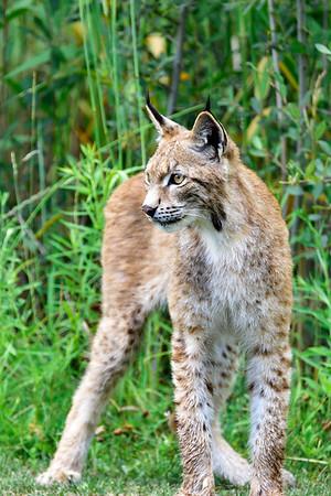Long legged Lynx