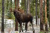Moose in Jasper Alberta
