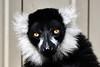 Lemur up close