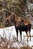 Moose vertical