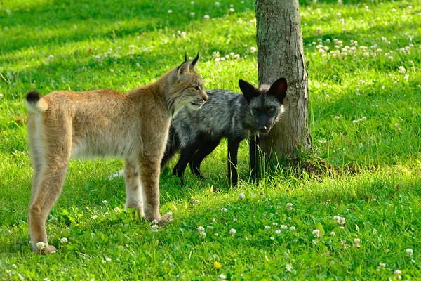 Lynx and a Fox