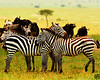 Zebra Hugs copy