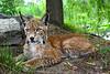 Posing Lynx