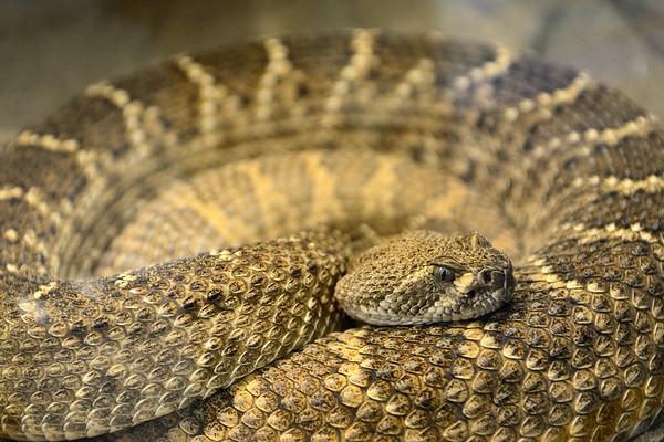 Diamond Head Rattlesnake