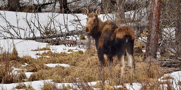 Moose looking back