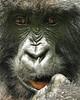 Female Gorilla_