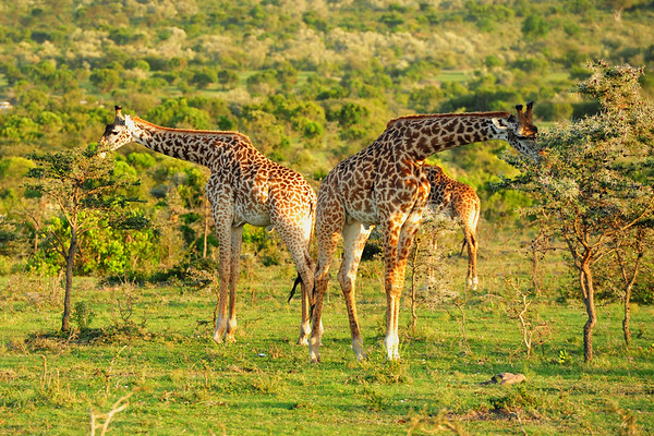 Giraffes eating the top of the trees