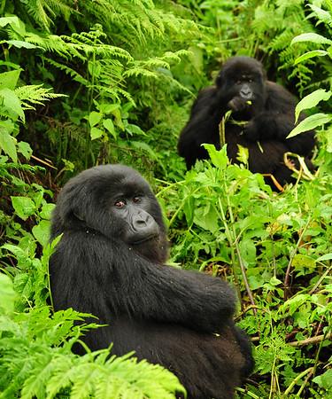 two gorillas2