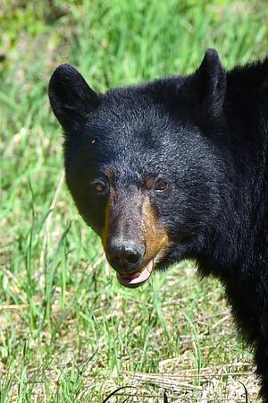 Bear Face up close