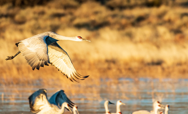 Sandhill Crane leaving South Crane Pond