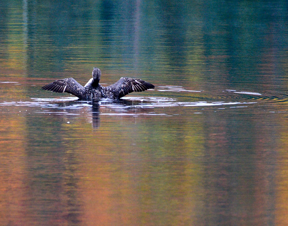 Loon flapping in lake
